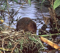 photograph of water vole